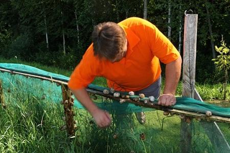 выращивание улиток
